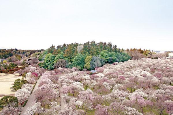 偕乐园的春景(图片由茨城县上海事务所提供)