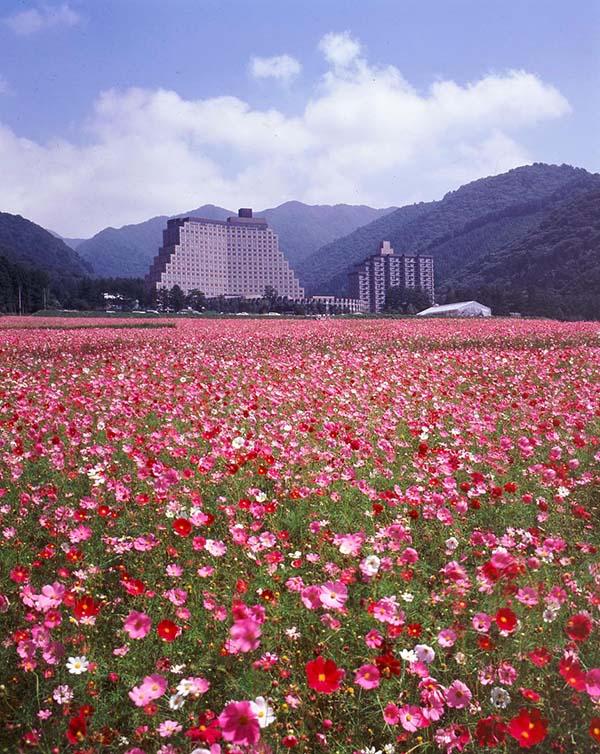 浪漫香草园的大波斯菊