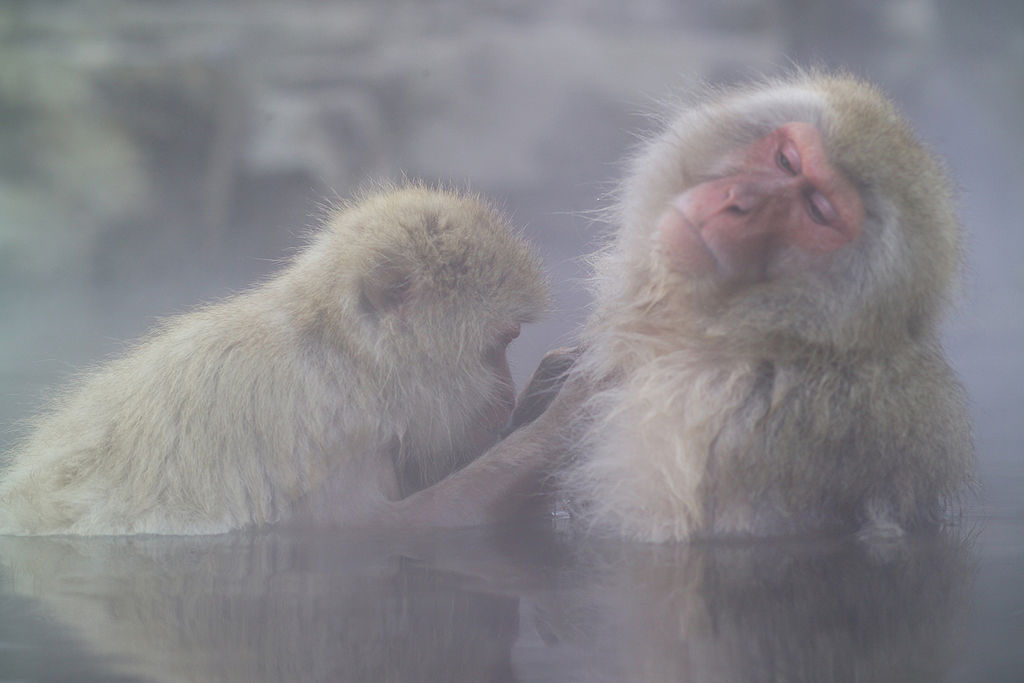 日本雪猴泡温泉·长野县下高井郡山内町地狱谷野猿公苑