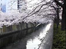 东京进入赏樱季节