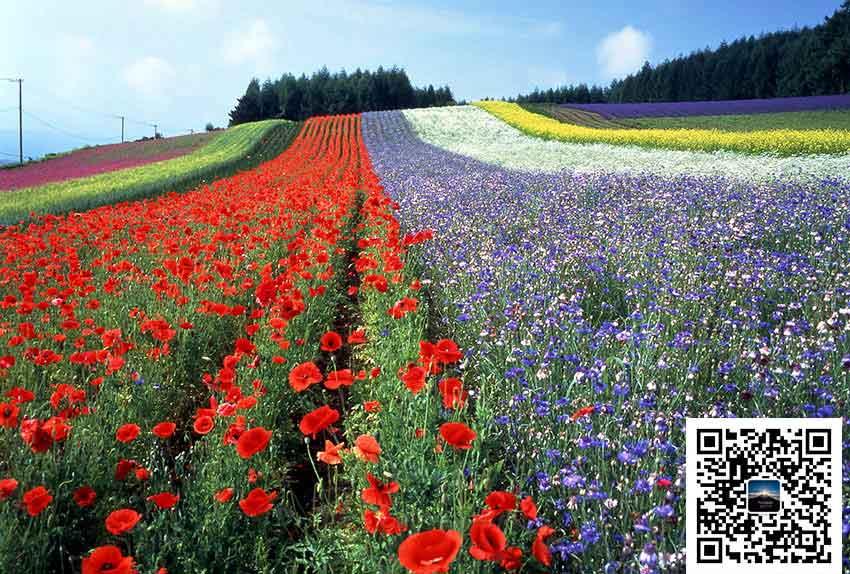 日本旅游北海道自由行:花团锦簇的夏日富良野