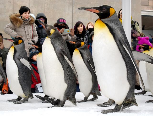 """旭山动物园的""""企鹅漫步""""(图片来源:朝日新闻网站)"""