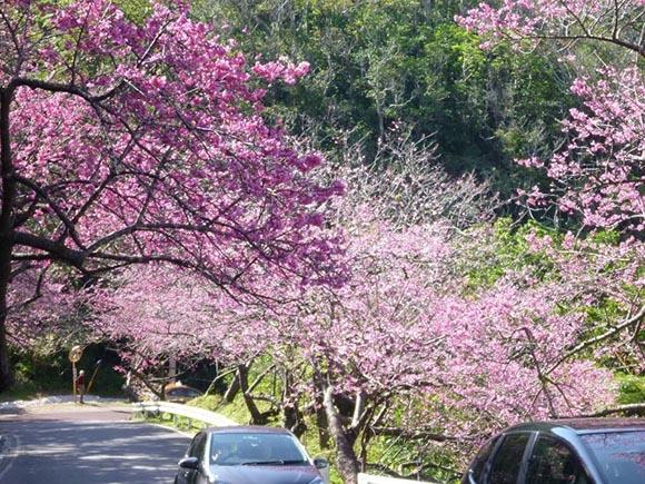 日本旅游樱花季·盘点冲绳的樱花名所