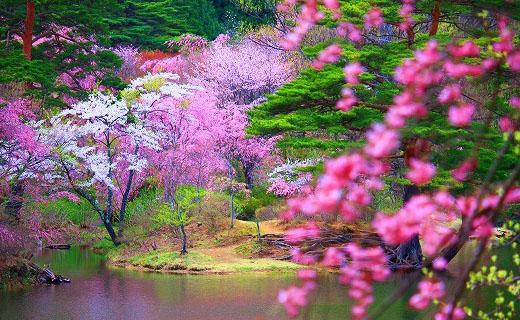 """探寻""""感染""""海外游客的日本樱花情节"""
