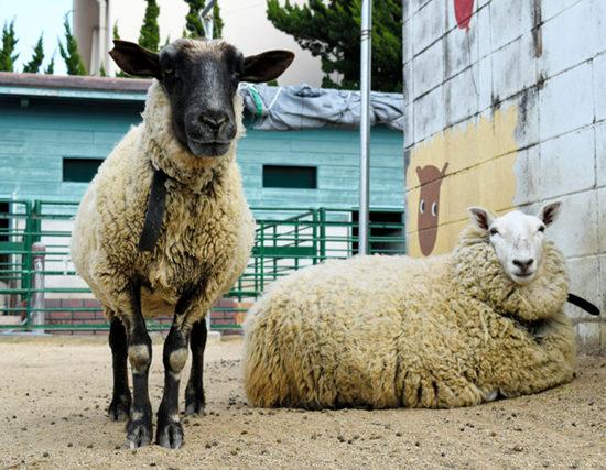 校门口羊驼迎师生日本大阪某营养挑战动物放午餐高中搭配高中生图片