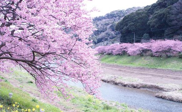 日本赏樱的花见礼仪