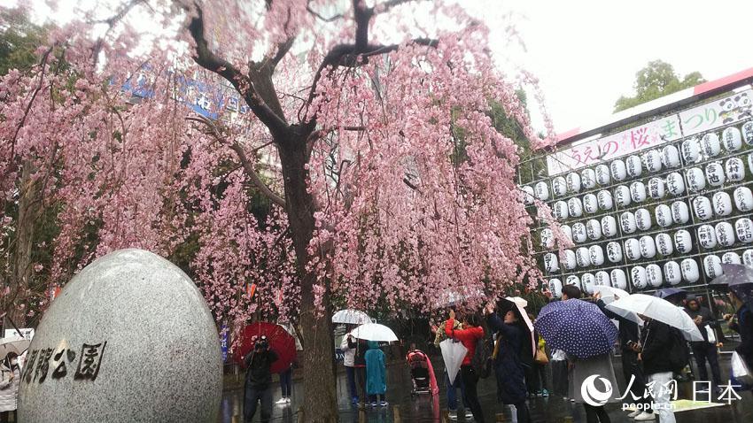 人民网东京3月27日电(许永新)尽管日本气象厅在21日宣布樱花已经开放,比往年早5天,但随后气温却一路下滑,导致樱花开放速度放缓。3月26日是周末,本来是出行赏樱的好时候,但一场寒冷的春雨却阻挡了人们出行的脚步。 26日东京的最高气温仅有6.7度,天上还飘着细雨,阵风吹来,感觉有冬天的寒意。这时让人体会到一个极具日本特色的词汇花冷(hanabie),这个词特指在樱花开放季节出现的寒冷天气,对于没有樱花文化的外国人,这个词不好领悟,也不太好想象为什么要专门造这样一个词汇,但生活在这里一段时间以后就会发觉