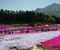 五一游日本正是游览最佳时节        五一假期期间,日本也正好迎来几天连休的黄金周。每年这个时候也是日本春景正浓的时节...