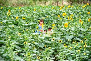 日本茨城县筑波市的万株向日葵迷宫对外开放