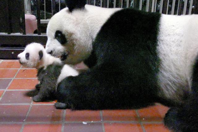 上野动物园大熊猫妈妈与宝宝(朝日新闻)