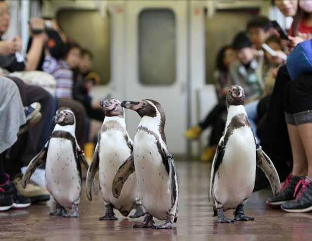 日本推出企鹅列车 可近距离观察其在车厢散步