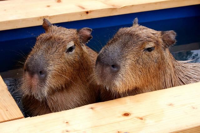 """日本团队让水豚泡温泉 证明温泉水对动物同样有""""美肤""""效果"""