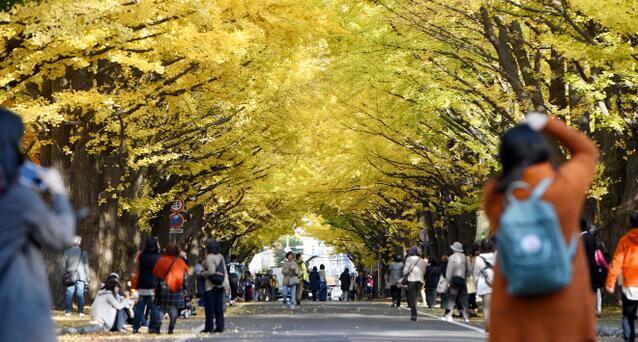 北海道大学银杏大道迎来最佳观赏期