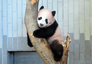 上野公园熊猫宝宝