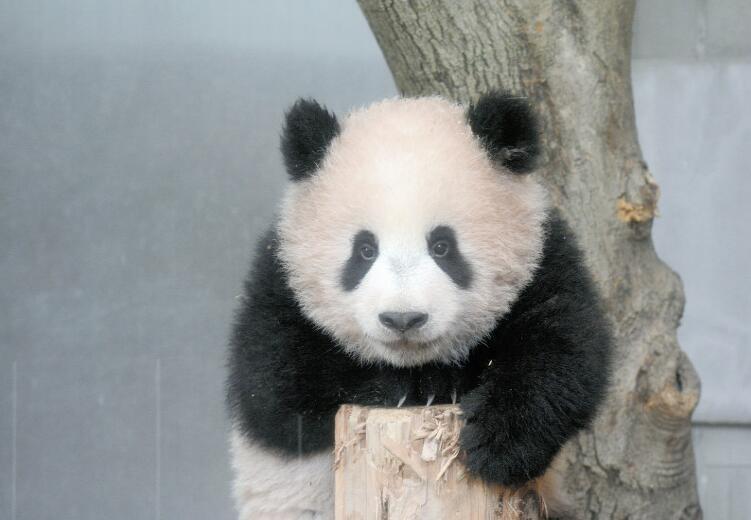 熊猫宝宝(东京动物园协会供图)