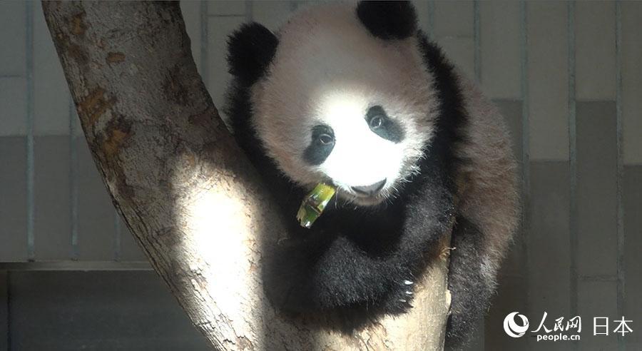 ...吴颖)19日,旅日大熊猫图片 53133 900x492