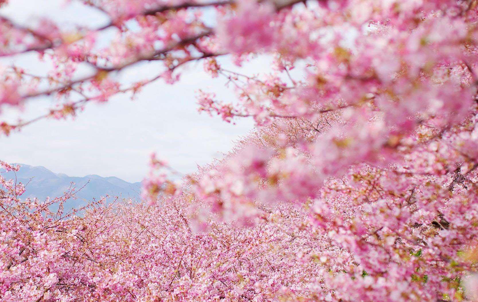 日本樱花_2018年日本各地樱花开放日期预测