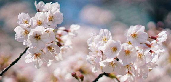 2018年日本各地樱花开放日期预测