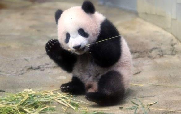 """参观上野动物园熊猫宝宝""""香香"""" 黄金周期间再次实行抽签制"""