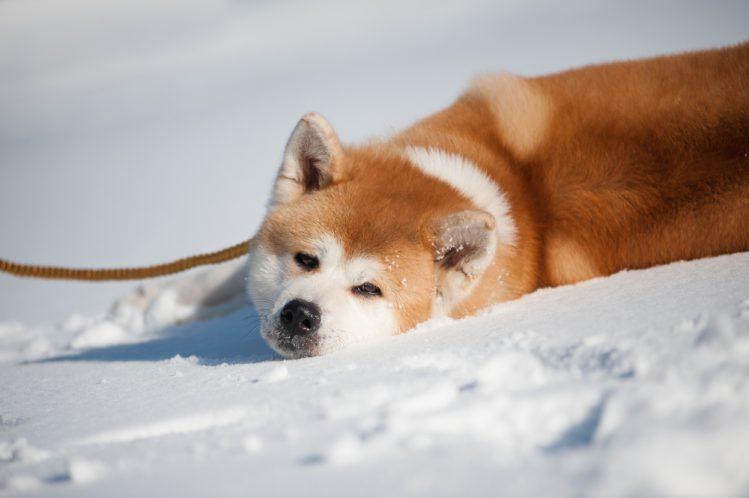 日本六大本土犬 识破各自的特性轻松驾驭名犬
