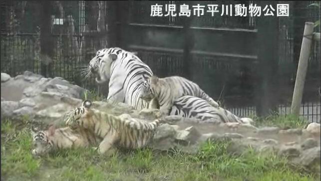 日本鹿儿岛一动物园职工被白虎咬死