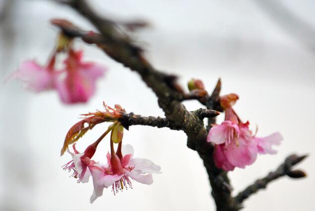 """日本熊本早樱""""河津樱""""开花比往年早了十多天"""