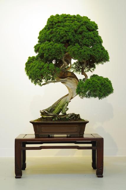 日本琦玉县频发珍贵盆栽被盗案疑有内行参与盗窃