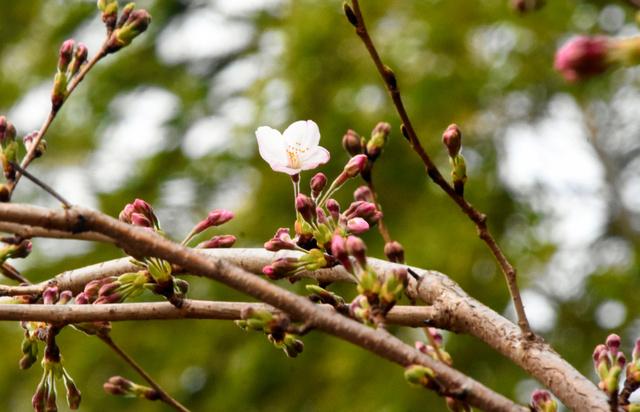 日本岛根县的染井吉野樱开花一周后进入盛开阶段