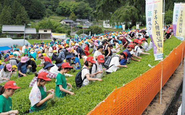 日本岐阜576人同时采茶 创吉尼斯世界纪录(图片来源:朝日新闻网站)