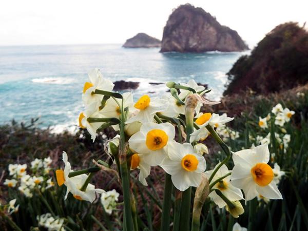 日本隐歧岛岸边的野生水仙开放成为最具冬日特色的景象