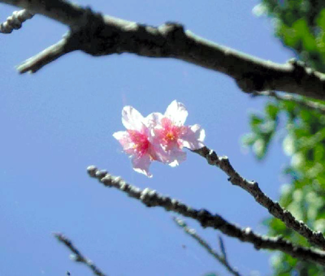 东京的樱花将于15日前后开放