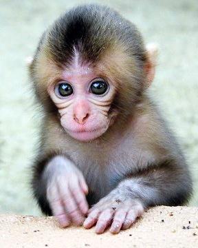 日本一动物园举行猴子选美由游客进行投票