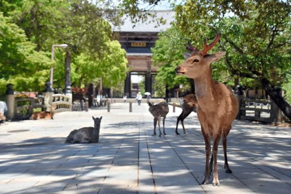 受疫情影响游客大幅减少奈良小鹿肠胃状况变好