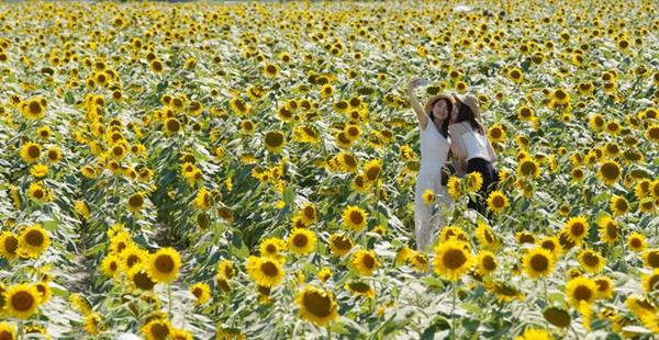 酷暑之下日本冈山的120万株向日葵盛开