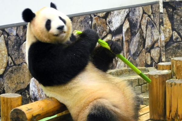"""中国旅日大熊猫""""良浜""""在和歌山喜诞宝宝"""