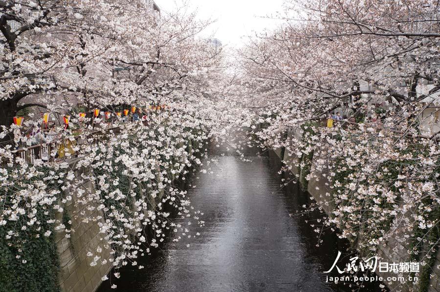 东京六义园垂樱迎来最佳观赏期