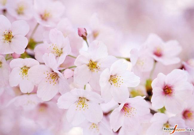 有关樱花的日文名曲,你会想起哪首歌呢?--日本频道--人民网