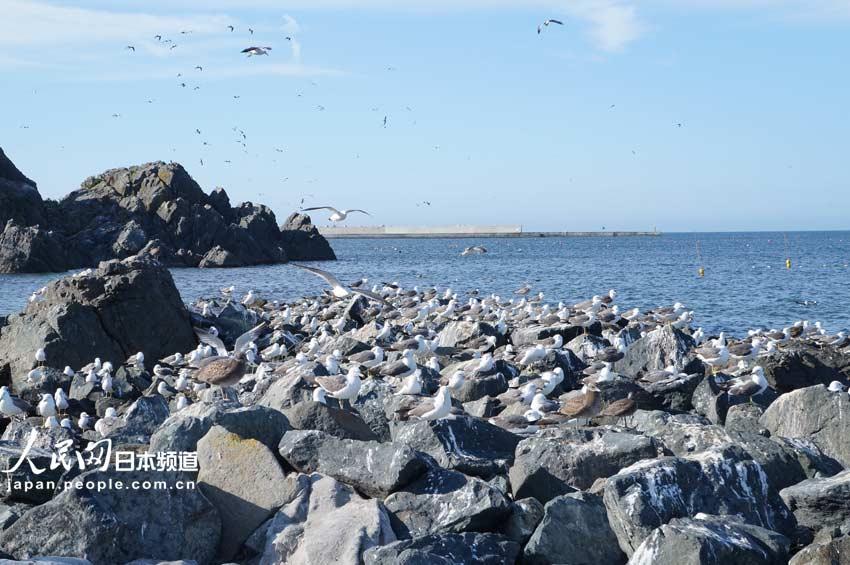 青森县芜岛 与黑尾鸥共享天空海洋